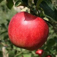 まるじゅんリンゴ園の写真
