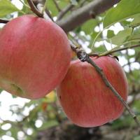 日野観光りんご園の写真