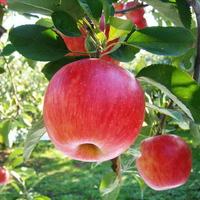 生駒高原りんご園の写真