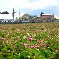アグリの里おいらせ観光イチゴ園の写真