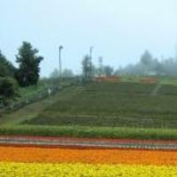 中富良野町営ラベンダー園の写真