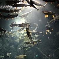 サケのふるさと 千歳水族館の写真